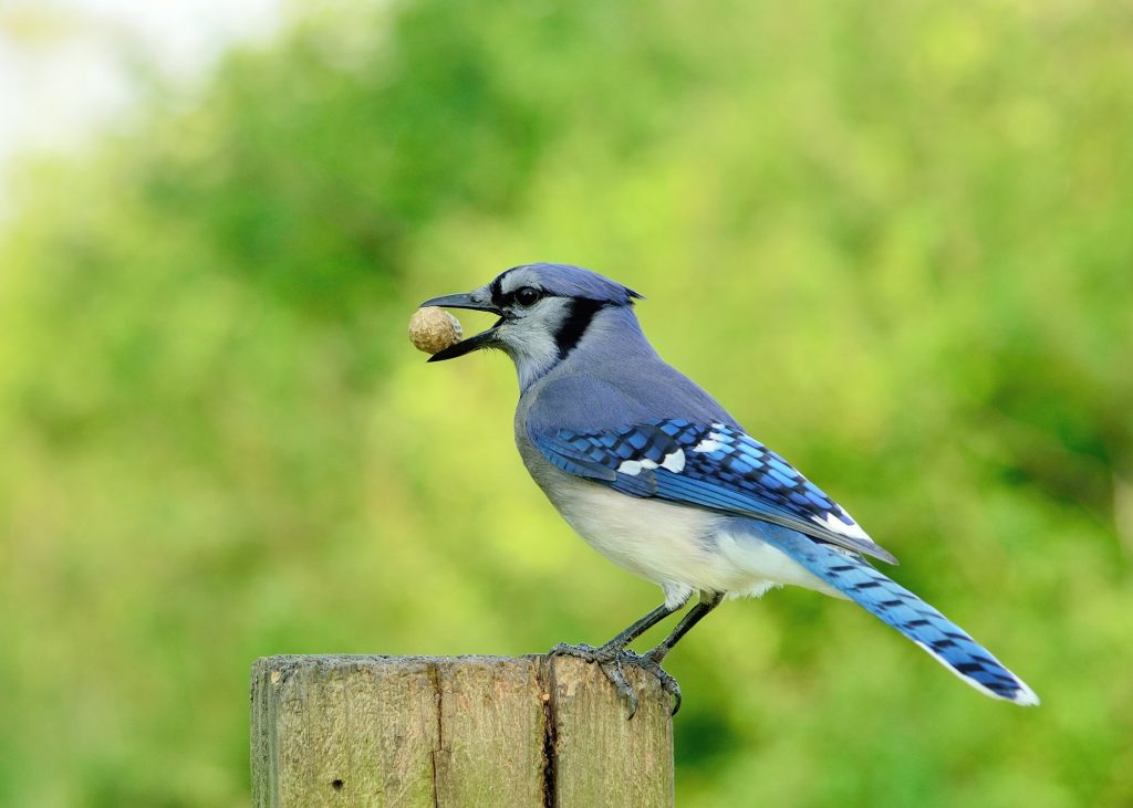 Find a blue jay when you do some backyard birdwatching.